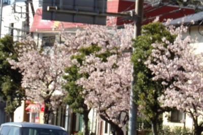 玉縄桜が満開です-2020年
