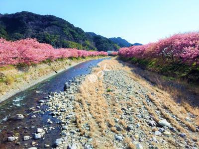 令和最初の河津桜まつり