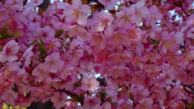 笹原公園へ、ミモザと河津桜を観に出掛けました 中巻。