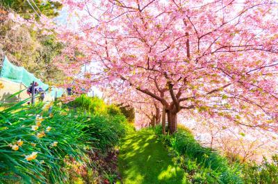 春は河津桜を見にアグリパーク嵯峨山苑へ