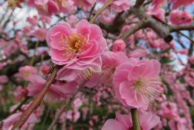 2020新春、蕾から七分咲の枝垂れ梅(2/7):2月18日(2):名古屋市農業センター(2):枝垂れ梅、有楽椿、水仙