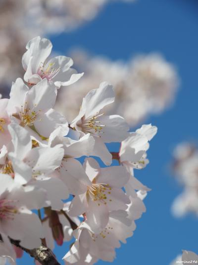 玉縄桜と梅の花が咲き競う大船フラワーセンター