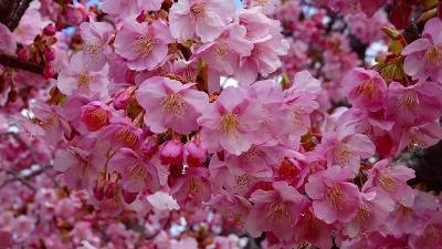 笹原公園からの帰り、昆陽南公園の河津桜を観てきました 下巻。