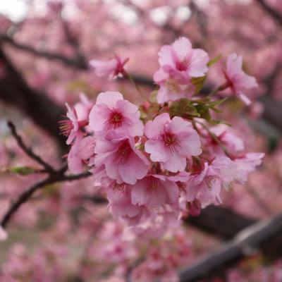 春だ!桜だ!河津桜を見に東伊豆へ行こう*(*゚▽゚*)*