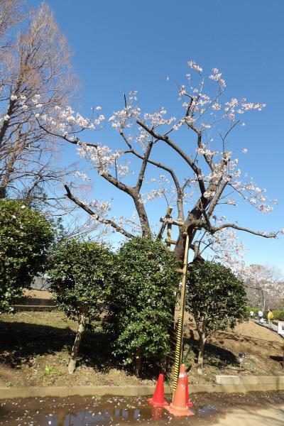 玉縄桜の原木(日比谷花壇大船フラワーセンター)-2020年