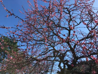 熱海梅園へ梅の花を見に行きました