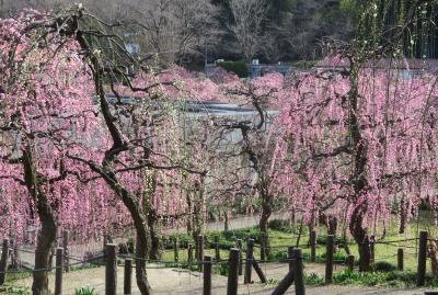 2020新春、蕾から七分咲の枝垂れ梅(3/7):2月18日(3):名古屋市農業センター(3):枝垂れ梅、素心蝋梅、寒菖蒲