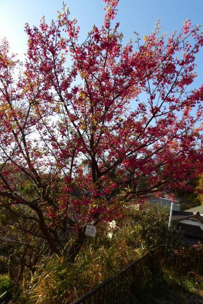 駐車場に名札が付いた早咲き桜