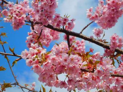 2/22(土)の河津桜まつりを訪ねて(2020早春・南伊豆の旅①)