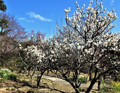 2020年2月 神戸市立須磨離宮公園の梅を鑑賞します。!