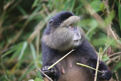 ウガンダ・ルワンダ マウンテンゴリラとナイルの源流 ⑥ヴォルガン国立公園ゴールデンモンキー・トレッキング