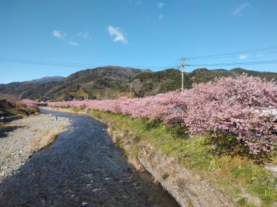 2020 春先取りの河津桜
