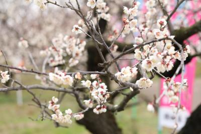 春の予感♪ 梅の競演♪ 佐布里池梅まつり&平芝梅林公園♪