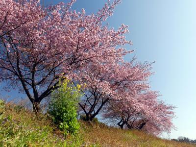 「榛の森公園」の河津桜_2020(2)_見頃が始まりました。(埼玉県・深谷市)