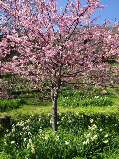 海と水仙と河津桜