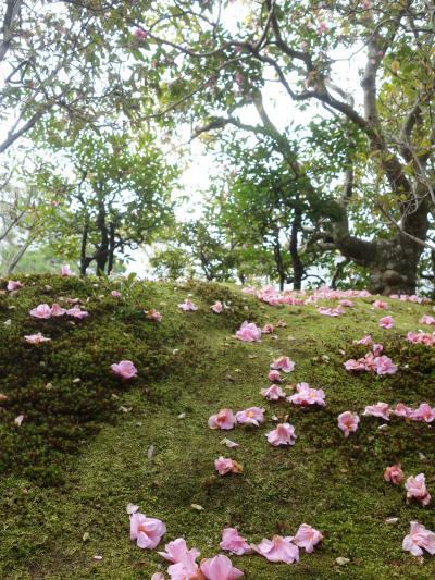 椿は落ちた花びらが美しい。等持院で有楽椿を愛でました。