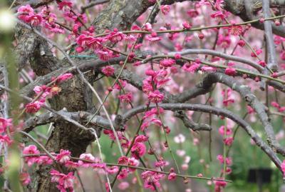 2020新春、蕾から七分咲の枝垂れ梅(5/7):2月18日(5):名古屋市農業センター(5):枝垂れ梅、竹林、水仙