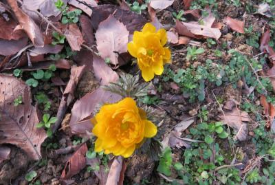 2020新春、蕾から七分咲の枝垂れ梅(6/7):2月18日(6):名古屋市農業センター(6):枝垂れ梅、福寿草