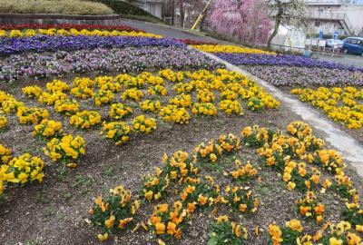 2020新春、蕾から七分咲の枝垂れ梅(7/7):2月18日(7):名古屋市農業センター(7):枝垂れ梅、福寿草