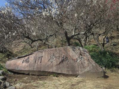 湯河原温泉:幕山公園・梅の宴開催中