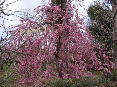 北野天満宮の梅の花がますます盛ん。今年もいい年でありますように。