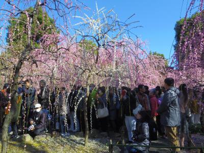 2020年2月、三連休の京都の旅5:城南宮の枝垂れ梅
