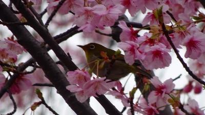 午前中は、緑ヶ丘公園へ河津桜を見に出掛けました その2。