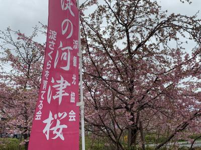 Kawazu cherry blossoms from Kyoto Yodo Station! Spring is coming soon!
