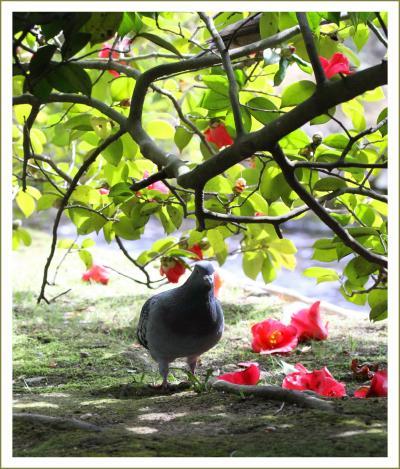 Solitary Journey[1548]梅林が見ごろ、散った椿花もきれい。前撮りカップルも華やか♪<日本三名園・岡山後楽園>岡山県岡山市