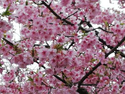 松戸市 坂川の河津桜が満開です。