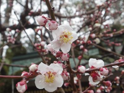 2020年2月、三連休の京都2:北野天満宮の梅
