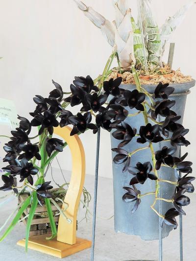 世界らん展17 フレグランス部門:蘭の香り-花の表情 ☆近接し花の香りを探しながら