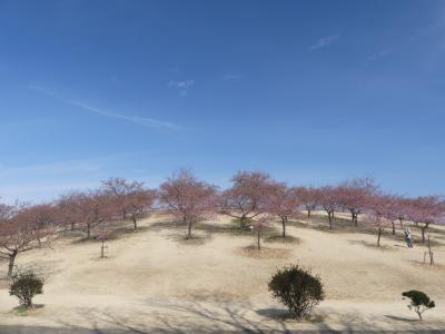 「いせさき市民のもり公園」の河津桜_2020(1)_2月20日は咲き始め、1分咲きくらいでした。(群馬県・伊勢崎市)