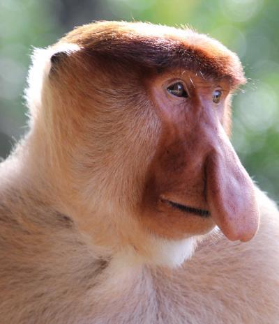 ボルネオ島のジャングルを訪ねる旅③ラブックベイ・テングザル保護区へ