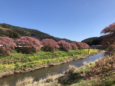 伊豆へ、早春の桜鑑賞