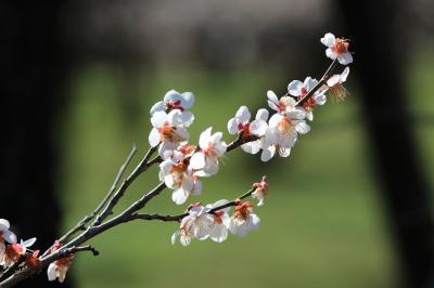 水戸偕楽園の梅・茨城県フラワーセンターの河津桜・苺スカイベリーを楽しむ by 日帰りバス