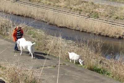 ヤギは散歩で河川敷に-2020年初春