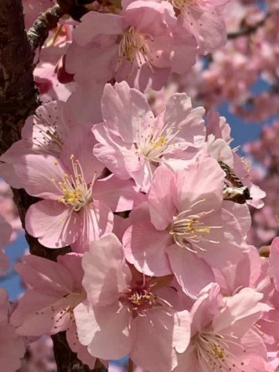 桜三月  散歩道 🌸