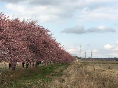 八千代市の新川千本桜で7分咲きの河津桜を愛でました