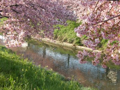 早朝ウォーキングで花紀行・・・1、久喜市鷲宮の河津桜