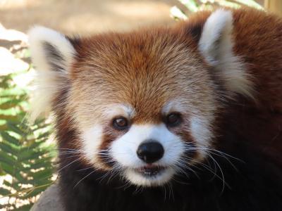 とくしま動物園 四国遠征2日目は徳島 ソラ君、ミンミンちゃん、あんこちゃん、さくらちゃん・・・四者四様の美パンダに癒される