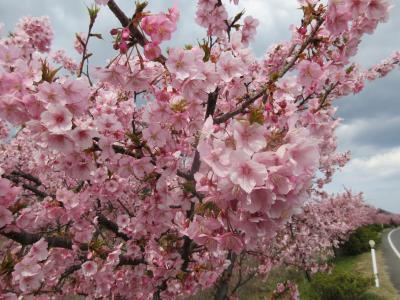 白鳥へ桜を見に