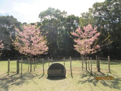 柏市の柏の葉公園・御手植え河津桜・2020年3月