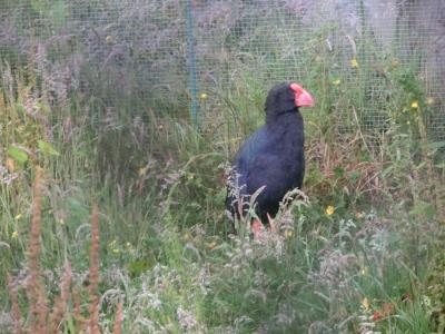 2020新春 ニュージーランド15:ミルフォードサウンド->テアナウ バードサンクチュアリ幻の鳥タカヘ