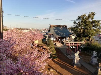 松戸での河津桜はそろそろ終わりかな
