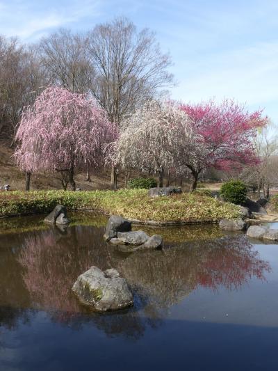 「みかも山・万葉庭園」の梅_2020_咲き残っていますが、見頃は過ぎていました。(栃木県・佐野市)