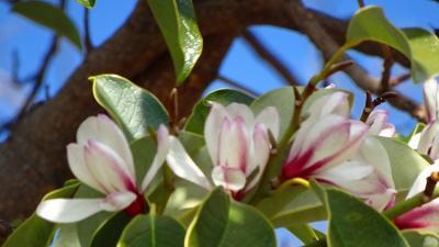 午後から笹原公園の河津桜を見に出掛けました 上巻。