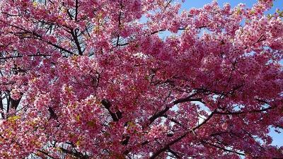午後から笹原公園の河津桜を見に出掛けました 中巻。