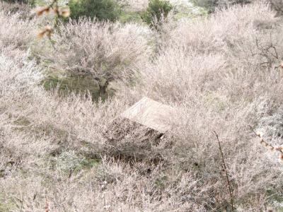 吉野の山は桜が有名だけど梅もすごいんです「賀名生梅林」