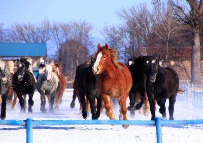 冬の十勝も魅力満載 (4)雪煙あげて駆ける馬追い